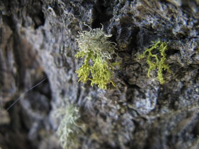 Lichen tenaciously clinging to a rock.