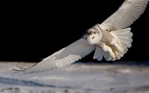 White Owl Flying