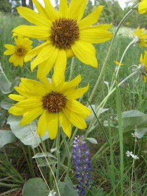 Arrowleaf Balsamroot Flowers