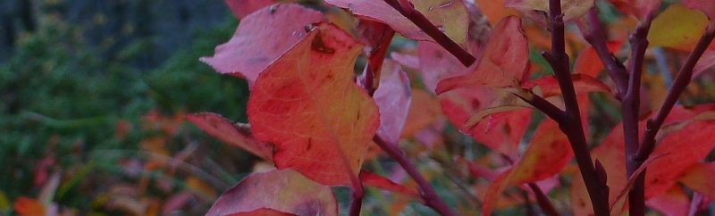 Rosy Fall Leaves by Lisa Gibson